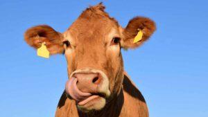 ヴィーガンレザーの説明で使用される牛